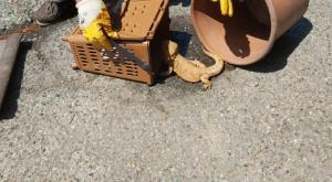 Vigevano, esemplare di pogona recuperato in via Corio