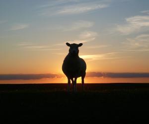 Protesta pastori, addio a 1 milione di pecore in 10 anni
