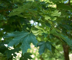 Coldiretti: ecco le super piante mangia polveri