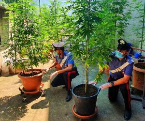 Landriano: trovate 9 piante di marijuana, denunciata 55enne